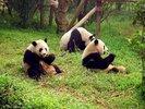 800px-Chengdu-pandas-d10[1].jpg